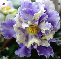 """African Violet """"RS-Jar Ptitza"""" Russian/Ukrainian variety one leaf Purple Flowers, House Plants, Flowers, Perennial Flowering Plants, Pretty Flowers, Herbaceous Perennials, Orchids, Pansies, African Violets"""