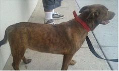 Lost Dog - Chow Chow - Fort Walton Beach, FL, United States