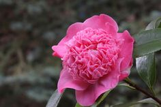 "Kamelie / Camellia jap. ""Peter Pan"" 23.03.2014"