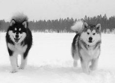 Malamutes <3 my future dog. They look so much like wolves ^_^