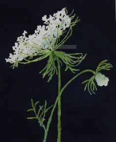 queen anne's lace watercolor-queen anne's lace painting-flower painting-flower art-botanical… Lace Painting, Garden Painting, Iris Painting, Queen Anne's Lace Flowers, White Flowers, Summer Flowers, Art Floral, Queen Anne Lace, Watercolor Flowers