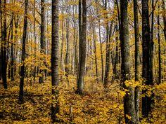 Golden Forest by Jeremy Tavener via 500px