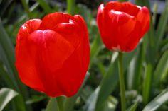 Afbeeldingsresultaat voor tulpen uit amsterdam