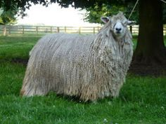 """A Leicester Longwool sheep. If coated and allowed to grow, the sheep will produce a coat with a 12"""" staple length that has a silk like sheen to it when spun. These are the sheep that made landowners in the middle ages VERY wealthy. VERY rare in the USA."""