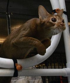 Abyssinian Cat Relatives