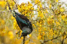 Inspiration image - Kowhai tree with Tui bird