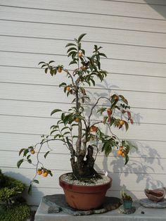 イメージ0 - 山柿の画像 - 三原の盆栽ブログ - Yahoo!ブログ