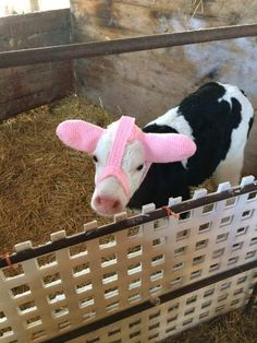 A Farmer Invented Earmuffs to Keep Newborn Calves Warm and the Photos Are Adorable - Best true lover Cute Baby Cow, Baby Cows, Cute Cows, Cute Baby Animals, Farm Animals, Animals And Pets, Funny Animals, Cow Pictures, Animal Pictures