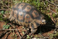 """Male Chersina angulata tortoise, Helderberg Nature Reserve, South Africa. A small, shy tortoise with a relatively variable shell, they can often be distinguished by their prominent """"bowsprits"""", which are protrusions of the """"gular"""" shields, from their plastrons under their chins. These are used by males to fight for territory or females. Crocodile, Somerset West, Les Reptiles, Tortoises, Nature Reserve, Wildlife, South Africa, Shell, Southern"""