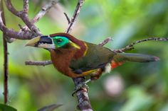 Foto saripoca-de-gould (Selenidera gouldii) por Marco Guedes | Wiki Aves - A Enciclopédia das Aves do Brasil