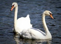 Painted Mute Swans Of Lake Junaluska North Carolina II by Carol R Montoya