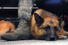 Whiskey, an explosive protection military working dog