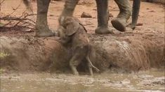 This video of an elephant herd helping a baby elephant out of a water hole just made my day so much better.