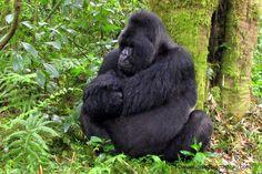 Le Bourlingueur: Voir les gorilles au Rwanda