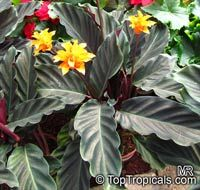 Calathea crocata, Eternal flame  Click to see full-size image