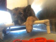 Hobbling, 14-year-old German shepherd surrendered to shelter 7/22/16