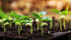 In mei zwaait de moestuin haar spreekwoordelijke tuinpoorten open. Na de laatste ijsheiligen - de kans op nachtvorst - kunnen alle vorstgevoelige planten eindelijk naar buiten. Je kunt ook bonen zaaien en tegen het eind van de maand de eerste aardbeien oogsten! Nog geen reukerwten gezaaid? Zaai ze meteen in de tuin, op de plek…