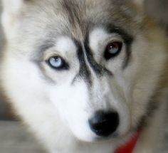 About Dogs Photo Gallery - Huskies Pictures - Siberian Husky