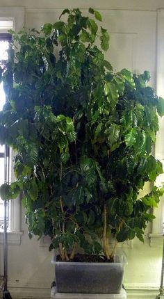 Coffee trees growing in a sub-irrigated planter (SIP) Indoor Garden, Garden Plants, Indoor Plants, Outdoor Gardens, Citrus Trees, Fruit Trees, Coffee Plant, Growing Tree, Landscaping Plants