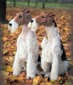 Formal looking terriers.  #dogs #pets #Foxterriers Facebook.com/sodoggonefunny