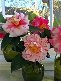 Varigated camellias, source Carolyne Roehm