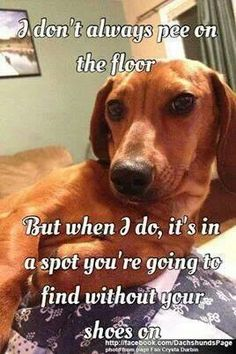 This is so true - as many a dachshund owner has discovered at the peril of their slipperless feet. Dachshund Funny, Dachshund Quotes, Dachshund Puppies, Dachshund Love, Dog Quotes, Cute Puppies, Cute Dogs, Daschund, Funny Quotes