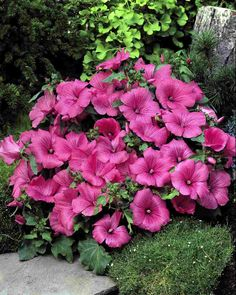 LAVATERA trimestris TWINS HOT PINK