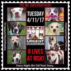 TO BE DESTROYED 04/11/17 - - Info    To rescue a Death Row Dog, Please read this:http://information.urgentpodr.org/adoption-info-and-list-of-rescues/   To view the full album, please click here: http://nycdogs.urgentpodr.org/tbd-dogs-page/ -  Click for info & Current Status: http://nycdogs.urgentpodr.org/to-be-destroyed-4915/