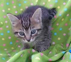 Meet Kevin 22170, a Petfinder adoptable Domestic Short Hair Cat | Prattville, AL | Kevin is a 7 week old, brown/black/gray tabby, male kitten.Dogs and puppies may be adopted for a...
