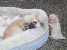 mama pekingese with baby