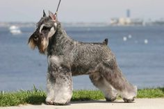 I Love Schnauzers! I miss my little Fritz who looked just like this one, He was one fearless little guy.