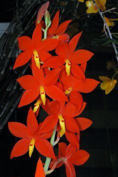 Orchid: Inflorescence of Prosthechea vitellina
