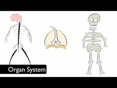 Educational video about the levels of organization: cells, tissue, organs and organ systems