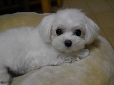 Look up maltese and you'll die! This is what my dog would've looked like if we got her as a puppy! They are sooooo cute!