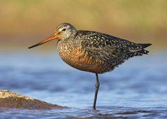 Bahía Lomas es el 2º lugar en importancia individual para esta especie con 10.000-12.000 individuos registrados durante la época de invernada.