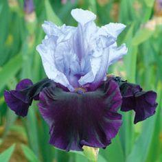Whale's Tale...Schreiner's Iris Gardens