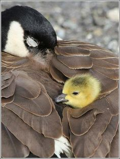 Canada Goose and Gosling by David Hutchinson, Alki Beach, Seattle, WA