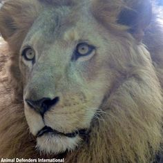CHECK THIS OUT: After years of horrific abuse, there is finally a chance to get these lions to safety! The Lion Sleeps Tonight, Animal Rescue Site, Mountain Lion, Pumas, Panthers, Big Cats, Lions, Safety, Kitty