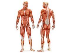 Анатомия человека, для академического рисунка