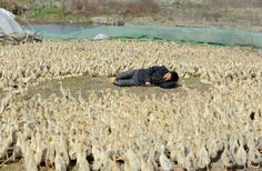 exhausted with ducks:  A worker takes a nap surrounded by ducklings at a duck farm on the outskirts of Jiaxing, Zhejiang province, China.