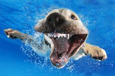 This Photographer Taught 1,500 Puppies How To Swim. These Are The Impossibly Adorable Results.  My fave!  He looks like he's imitating a Great White!