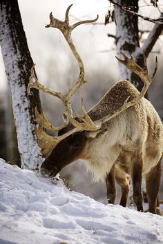Caribou bull foraging for food                                                                                                                                                                                 Mehr
