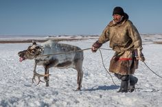 In the disease's aftermath, the regional government proposed to terminate 250,000 reindeer by Christmas.
