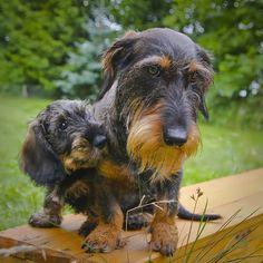 Ruwharige teckel met puppy