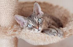 Top 10 Cat Breeds for Kids | PawCulture