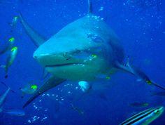 I had a great Shark Dive in Beqa Lagoon, Fiji.