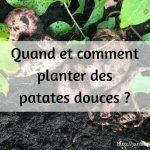 Quand et comment planter des patates douces ?
