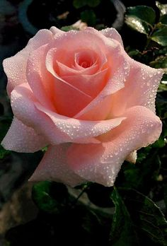 """""""❥ ❥"""" Petits jardins aux belles formes Are generally strive to compete au jardin Beautiful Rose Flowers, Love Rose, Flowers Nature, Amazing Flowers, Pretty Flowers, Beautiful Gardens, Beautiful Beach, Pink Roses, Pink Flowers"""