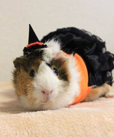 Model shooting - Halloween Costume for Guinea Pigs(Witch Dress+Hat) Guinea Pig Costumes, Pet Costumes, Halloween Costumes, Animals And Pets, Baby Animals, Cute Animals, Guinie Pig, Pig Pics, Baby Guinea Pigs