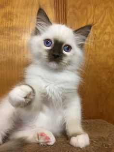 Welcome to Genotype Cats - Ragdoll Cats Owning A Cat, Ragdoll Cats, Cat 2, Cat Grooming, Cute Cats And Kittens, Cat Food, Cat Breeds, Fleas, Kitty